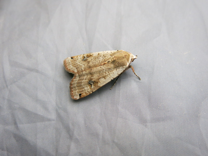 Beautiful moth hiding under our tent