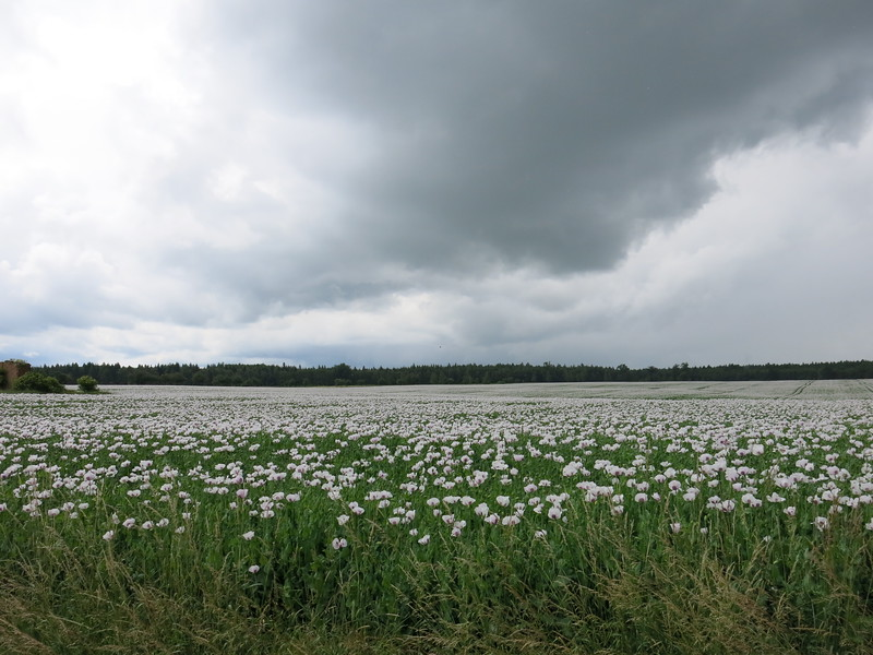 Huge field of white poppies